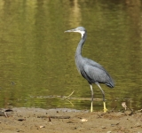 Black headed Heron_0792