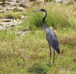 Black headed Heron_1839