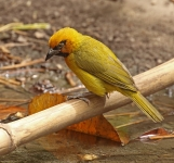 Black necked Weaver_1290