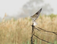 Black shouldered Kite_1361
