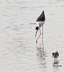 Black winged Stilt_2182