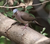 Blue spotted Wood Dove_3026
