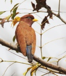 Broad billed Roller_2420