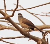 Brown Babbler_1685