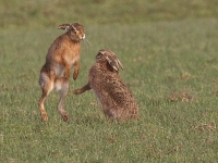 Brown Hares - 0199