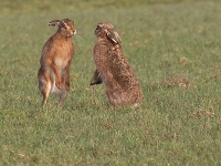 Brown Hares Boxing - 0200