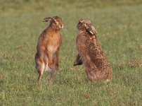 Brown Hares boxing_0200