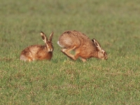 Brown Hares courting - 0120