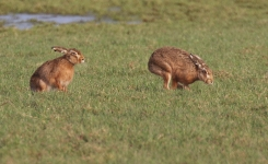 Brown Hares courting - 0137