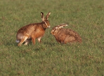 Brown Hares courting - 0166