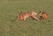Brown Hares courting - 0171