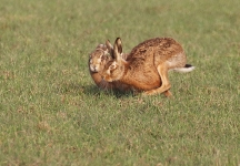Brown Hares courting - 0181
