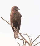 Brown Snake Eagle_1979