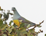 Bruces Green Pigeon_2637