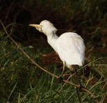 Cattle Egret_0983