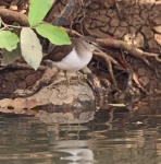 Common Sandpiper_2276