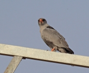 Dark Chanting Goshawk_2158