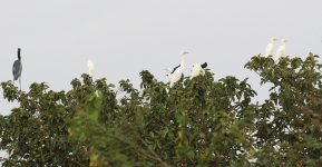 Egrets and Herons_2292