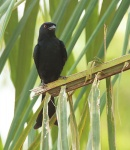 Fork tailed Drongo_1374