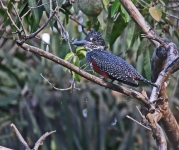 Giant Kingfisher_3161