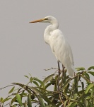 Great White Egret_1042