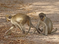 Green Vervet monkey_3232