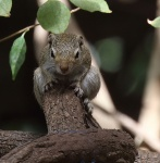 Ground Squirrel_2973