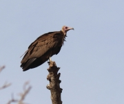 Hooded Vulture_3205