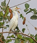 Intermediate Egret_2287
