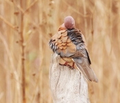Laughing Dove preening _1646