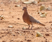 Laughing Dove_0811