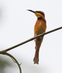 Little Bee-eater_1176