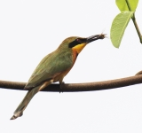 Little Bee-eater_1180