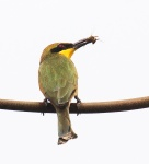 Little Bee-eater_1185