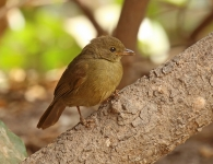 Little Greenbul_1259
