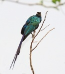 Long tailed Glossy Starling_1713