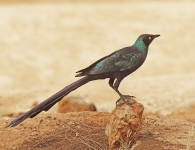 Long tailed Glossy Starling_1927