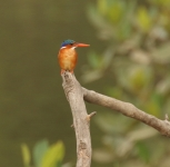 Malachite Kingfisher_0886