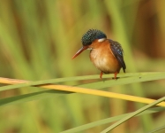 Malachite Kingfisher_1463