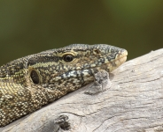 Monitor Lizard head_2448
