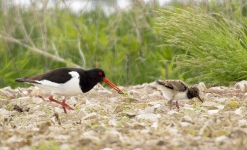 Oystercatcher and chick - 0261