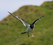 Oystercatcher flying - 8195