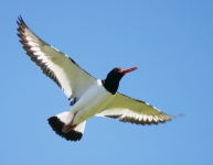 Oystercatcher flying - 8197