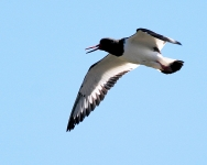 Oystercatcher flying - 8208