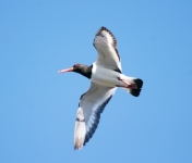 Oystercatcher flying - 8222