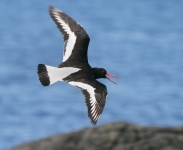 Oystercatcher flying - 8224