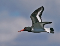 Oystercatcher flying - 8225