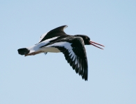 Oystercatcher flying - 8238