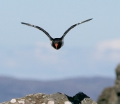 Oystercatcher flying - 8249