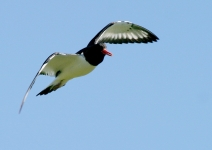 Oystercatcher flying - 8266